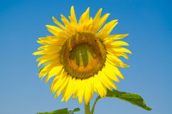 Sunflower and bees. Stock Images