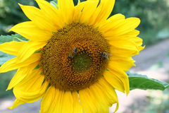 Sunflower and bees Stock Image