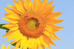 Sunflower and bees Royalty Free Stock Photography