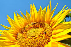 Sunflower with bees. Closeup view of a beautiful sunflower with few bees against a clear blue sky Royalty Free Stock Photography