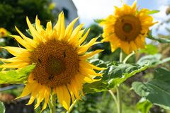 Sunflower and bees royalty free stock photos
