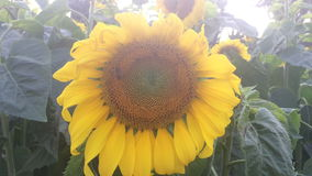 Sunflower and bees finding the pollens stock video footage