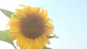 Sunflower and bees finding the pollens stock footage