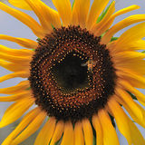 Sunflower and bees Royalty Free Stock Images