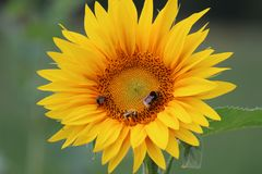 Sunflower with bees stock photos