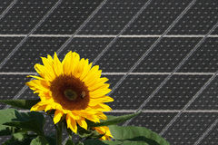 Sunflower with bees in front of solar panels royalty free stock photo
