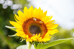 Sunflower with bees on it Stock Photos