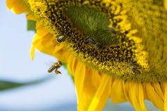 Sunflower with bees harvesting pollen Royalty Free Stock Photography