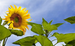 Sunflower with Bees Stock Images