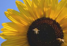 Sunflower with bees. Natural summer background. Sunflower with two bees. Natural summer background with beautiful flower and with important flying insects stock photography