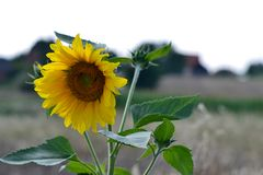 Sunflower with bees in pollination. Sunflower in the field with bees on them in pollination process stock image