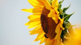 Sunflower and Bees. A single sunflower with two bees stock footage