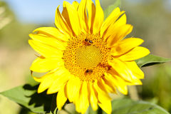 Sunflower with bees in summer. Royalty Free Stock Image