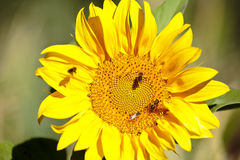 Sunflower with bees in summer. Stock Photography