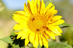 Sunflower with bees in summer. Royalty Free Stock Photos