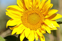 Sunflower with bees in summer. Stock Photos