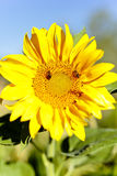 Sunflower with bees in summer. Royalty Free Stock Images