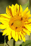 Sunflower with bees in summer. Royalty Free Stock Photo