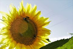 Sunflower and bees. At lunch in the field Royalty Free Stock Photos
