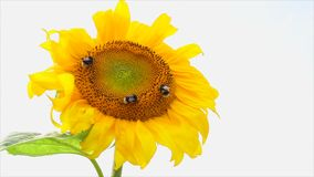 Sunflower and bees stock video