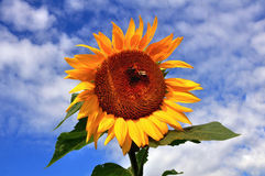 Sunflower with bees Royalty Free Stock Photography