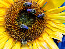 Sunflower and Bees Stock Images