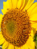 Sunflower and beetles. Small beetles on the bright colorful sunflowers Stock Images