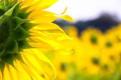 Sunflower from behind stock photos