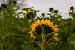 Sunflower from Behind Stock Images