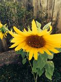Sunflower big fall Royalty Free Stock Photography