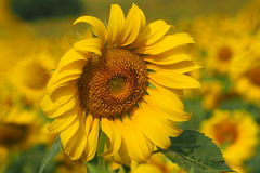 Sunflower. Is a big flower royalty free stock photography