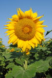 Sunflower. A big sunflower head at flower time Royalty Free Stock Image