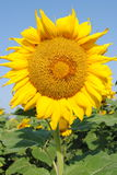 Sunflower 2 Royalty Free Stock Photos