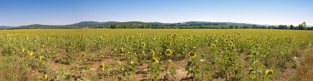 Sunflower big panorama Tuscany XL dimension Royalty Free Stock Photography