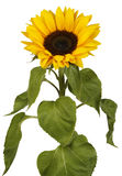 Sunflower. Big Sunflower on white background Stock Photography