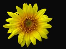 Sunflower On Black Royalty Free Stock Photo