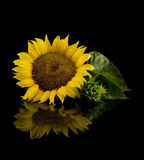 Sunflower in black Royalty Free Stock Photography