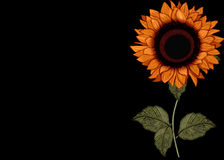 Sunflower on Black Background Royalty Free Stock Photos