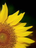 Sunflower on black background Royalty Free Stock Images