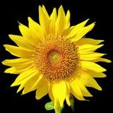 Sunflower on black background 2 Stock Photography
