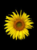 Sunflower on black background Stock Photos