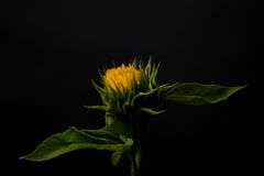 Sunflower  on a black background Royalty Free Stock Photos