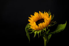 Sunflower  on a black background. Stock Image