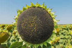 Sunflower with black seeds Stock Photo