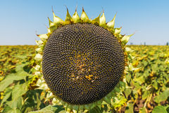 Sunflower with black seeds Royalty Free Stock Images