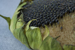 Sunflower with black seeds is laying on the table Stock Photography