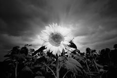 Sunflower in black and white Stock Photo
