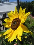 Sunflower in Bloom royalty free stock photos