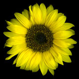 Sunflower in bloom Royalty Free Stock Image