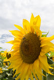 Sunflower in bloom. Close-up of a sunflower head, in bloom Royalty Free Stock Photo